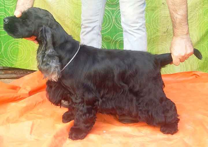 Femmina di cocker spaniel
