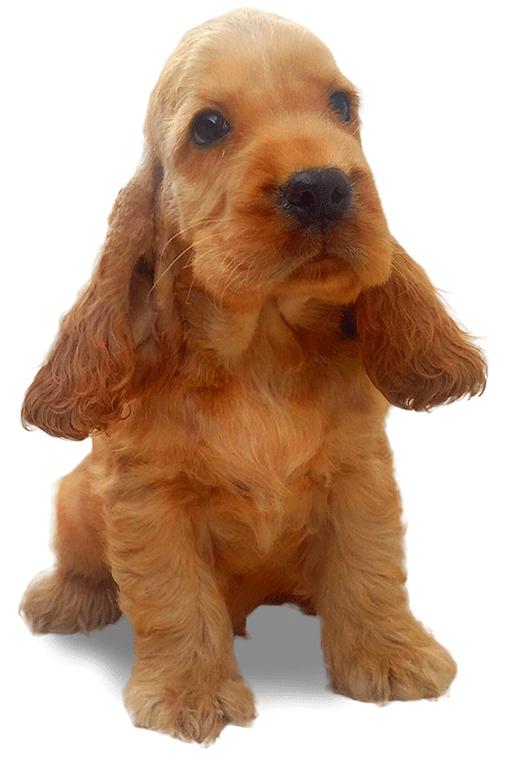 cocker spaniel cucciolo